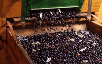 http://www.frantoiolacertosa.it/it/wp-content/uploads/2014/10/olive.jpg
